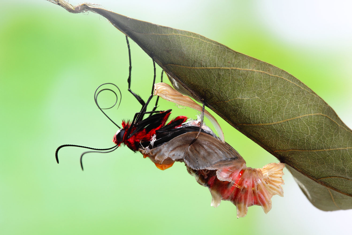 butterfly in cocoon stock image